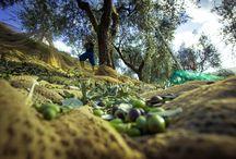 Olive harvest / The harvest goes on