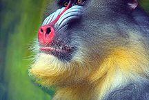 Monkey / 2016 is the year of the monkeyp in Chinese Zodiac. monkey,ape,lemur,loris,galago,tarsier.