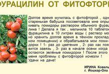 Помидоры выращивание