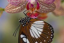 Butterflies and auchids