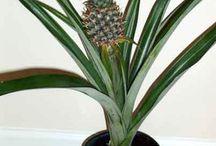 Ananas  ( un fruit Plante. Moi j'en ai un...