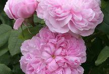 Roser + Have / hvordan plantes, hvilken jord, gødning, beskæring, formering