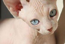 sfinx cicák