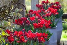 Porch plants  / Tulips in galvanized tubs