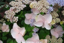 Hot New Hydrangeas for 2018 #hydrangeahowto #prhf #specialtyplantnursery / We will be carrying 31 kinds of Hydrangeas this season! As much as we curse having to keep their little pots watered all summer, we still love them! The newest ones they're coming out with are irresistible!  Here are the ones we have ordered and confirmed for this spring-take a look. FYI -adding used coffee grounds to the soil around your hydrangeas will help deepen and enhance the blue color! P.S. They're not that hard to grow once they're in the ground in a nice rich soil w/mulch..