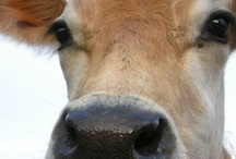 Bovine Appeal / Some of the pics of other dairy cows we've seen and loved