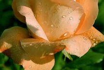 růžičky