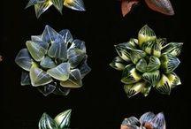 Pozsgás növény