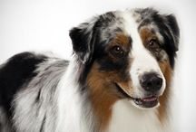 Herding Dog Breeds / This group was created in 1983 by the AKC to honor what is one of the oldest of dog professions: herding livestock. The sheepdogs and cattle dogs of the world are here, including the much-loved collie breeds and those royal favorites, the corgis. 