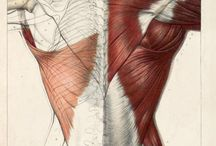 estudos da anatomia humana / corpo humano