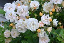 Garden flowers / My garden flowers