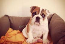 Harper ,bulldog anglais / Harper , mon bulldog anglais