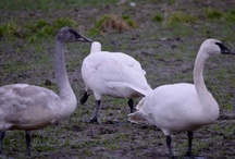 Trumpeter Swans / by Marvin Smith, Strategic Talent Sourcing Technologist