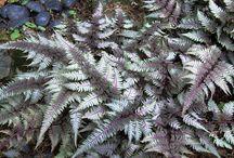 Athyriaceae