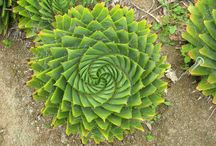 Aloaceae