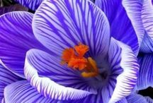 Crocus / A collection of all the Crocuses featured in our catalogue