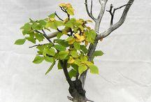 Carpinus betulus bonsai / stone 2013.10.07.