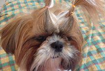 Shih tzu ❤️ / My puppy, other puppies... One love