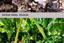 Wine Grapes / #wine #grapes #winegrapes #mmwgc #mywine  {www.juicegrape.com}