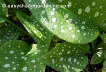 Lungwort Shade Plant / Lungwort leaves have random splashes of white spots to brighten shady areas of the garden - Pulmonaria