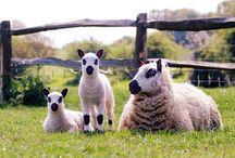 Sheep breeds we love! / Scrumptious woollyness!!