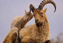 Caucasian mountain goat