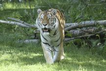 All things 'Tigers'! / We large very proud of our tigers here at Banham Zoo. We have our beautiful pair, male 'Kuzma' and our female 'Sveta'. In 2014 our breeding pair had two beautiful twin girls 'Yeva' and 'Xenia'. Both the Cubs have now gone to their new homes but we still wanted to share our photographs of them growing up at Banham Zoo!