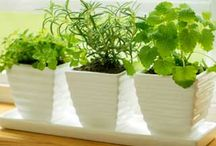 Repotting herbs/veges
