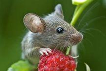 souris / souris, mulots, petits rongeurs