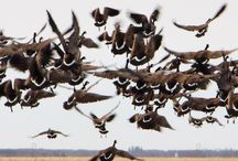 Birds from Every Direction / In the center of migratory crossroads, Manitoba's rich diversity of wetlands, grasslands, sub-arctic, and coastal habitats harbour an astonishing two-thirds of Canada's bird species.
