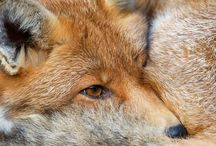 Folk tale animals - Foxes