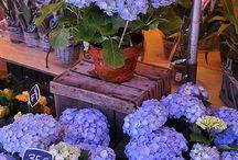 Hydrangea,my favourite flower