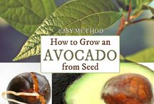 Growing Avos from seed
