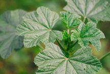 Tıbbi bitkiler