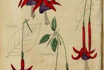 Natural History Illustration Studies