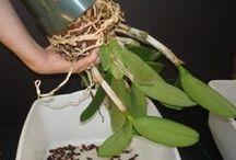 orquídeas como plantar