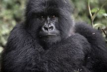 Gorilla Tracking / Lunch with a Gorilla