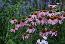 On the sunny side... / Minnesota Hardy Perennials for sunny areas.