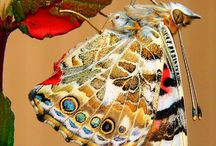 ! # ! ( BUTTERFLIES :  INSECTS : MOTH'S ) / BEAUTIFUL BUTTERFLY, INSECTS & MOTHS / by Gillian Haberfield