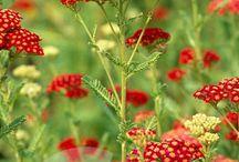Plant - Achillea