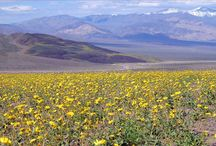 Super Bloom / The deserts' best display of color since 2005 is in town. Millions of wildflowers blanket Death Valley in an amazing Superbloom
