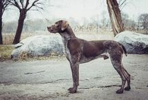 GSP's. German Shorthaired Pointers