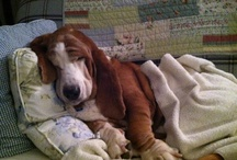 Bassets / by Melissa Hicks