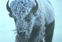Buffalo Power / buffalo pictures