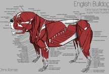 Anatomy animal skech