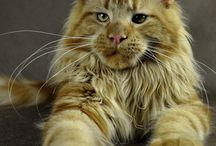 Maine Coon children