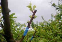 Greffage des arbres fruitiers / Le greffage est incontournable pour multiplier arbres fruitiers et plantes, qui conserveront toutes les caractéristiques génétiques de la plante mère