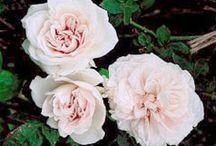 Rose In The Garden / by Casey Pradelli