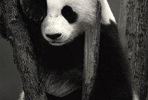 I'm panda