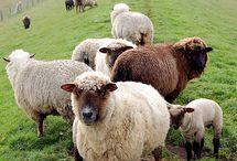 Sheepy Love <3